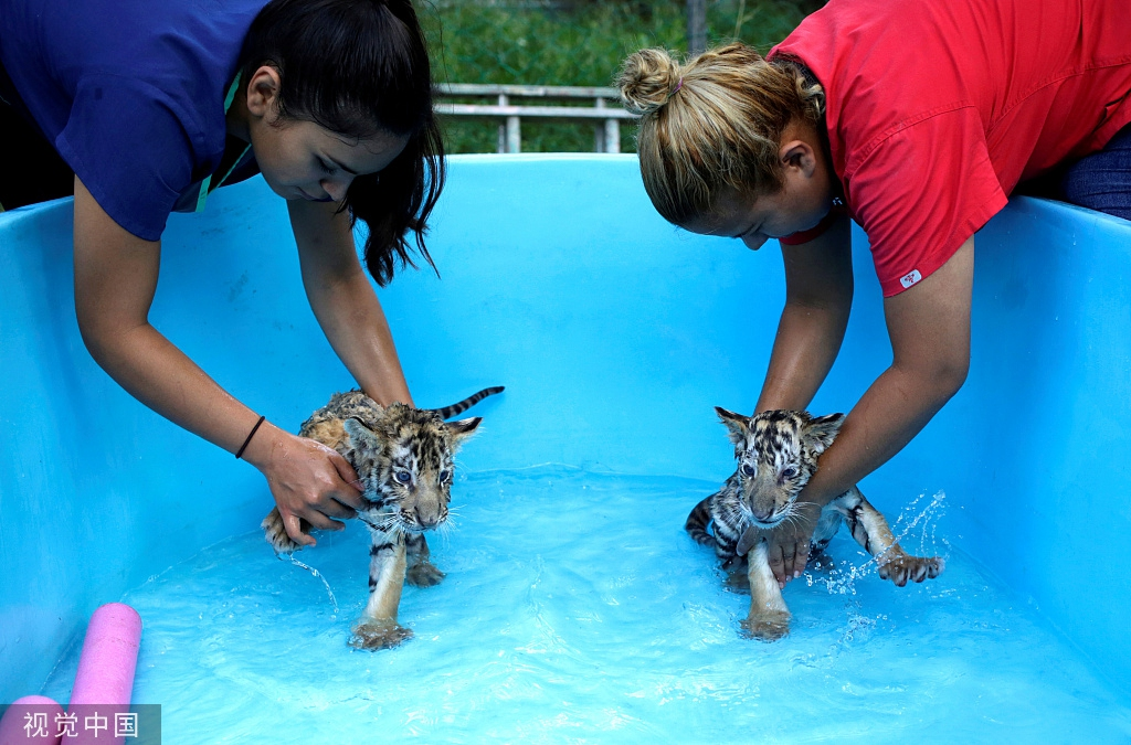 两只孟加拉虎被雌虎遗弃,获动物园悉心照料