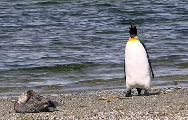東福克蘭島一企鵝遇見鴨超緊張,小心翼翼避讓-Dog Time